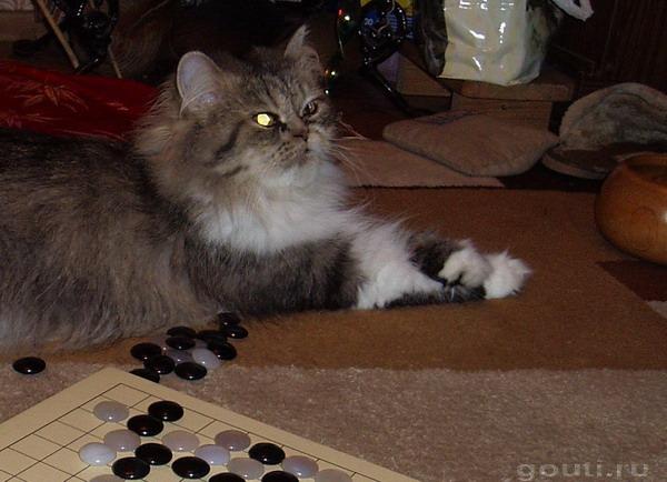 Го-кот или кошки тоже любят играть в Го!