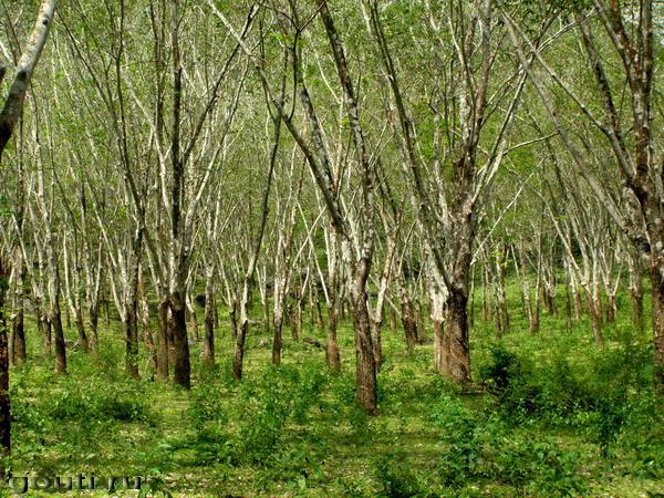 Деревья каучуконосы. Фото в стиле Куинджи...